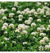 Газонная трава клевер с доставкой по Украине