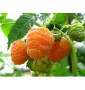 Пропонуємо купити саджанці малини Ранкова роса, Брусвяна, Полька