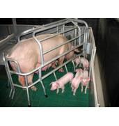 Предлагаем продажу свиней живым весом в Украине