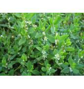 Прекрасное растение для ландшафтного дизайна: трава спорыша. Реализуем семена!