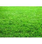 Продаем траву газонную «Универсальную»: устойчива к вытаптыванию