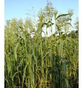 Пропонуємо купити насіння суданки: відмінний корм для тварин