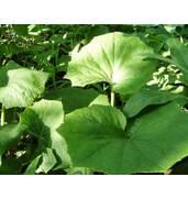 Заказывайте в в Бердянске листья мать-и мачеха! Доставка лечебных трав по Украине