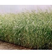 Насіння суданської трави (роздріб, опт) - дешево!