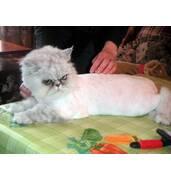 Стрижка котів довгошерстих порід, Київ і передмістя