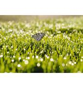 Насіння газонної трави, яка стійка до засухи. Якість вражає!