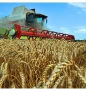 Уборка зерна пшеницы за доступные деньги! Узнайте больше