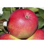 Выращивание яблок Элиза