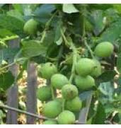 Вирощування саджанців волоського горіха Костюженський