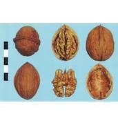 Вирощування саджанців волоського горіха Яровський