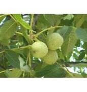 Выращивание саженцев грецкого ореха Коржеуцкий
