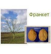 Выращивание саженцев грецкого ореха Франкет