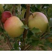 Выращивание яблок Чемпион