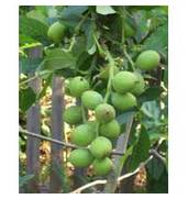 Вирощування саджанців горіха Калашарський