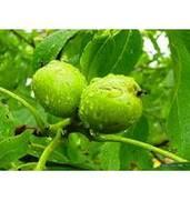 Выращивание саженцев грецкого ореха Лара Пьерраль