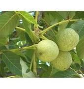 Вирощування саджанців горіха Когильнічану