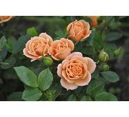 Троянда Спрей Апрікот Клементін (ОКН-1867) за 2-4 л