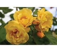 Троянда плетиста Голден Шауерс (ОКН-1609) за 2-4 л