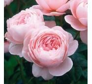 Роза английская Королева Швеции (ОКН-2777) за 2-4 л