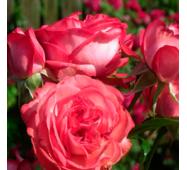 Троянда плетиста Антік (ОКН-1649) за 2-4 л