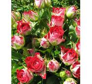 Троянда Спрей Рубі Стар (ОКН-2886) за 2-4 л