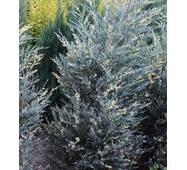 Ялівець скельний Silver star variegata (ОКН-1091) за 5-7,5 л