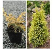 Ялівець звичайний Gold cone (ОКН-199) за 2-4 л