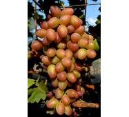 Виноград Парижанка (ОКН-2942) за 2-4 л