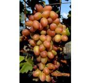 Виноград Парижанка (ІВН-101-3) за 3 шт.