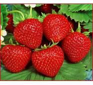 Суниця садова Гармонія (ОКН-2637) за 0,5-1,5 л