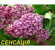 """Сирень обыкновенная """"Сенсация"""" (ЗКС) 2 г."""