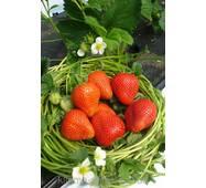 Суниця садова Румба (ОКН-908) за 0,5-1,5 л