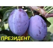 "Саженцы Сливы ""Президент"""