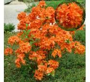 Азалаия крупноцветковая GIBRALTAR за 2-4 л (ОКН-2971)