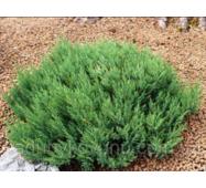 Можжевельник горизонтальный Блю Форест (30-35 см)