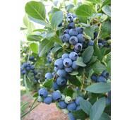 Голубика Блю Голд за 5-7,5 л (ОКН-618)