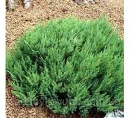 Можжевельник горизонтальный Блю Форест (20-25 см)