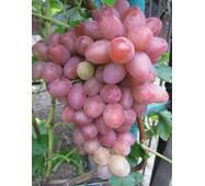 Виноград Софія (ІВН-35)