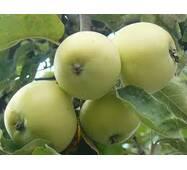 Яблоки Папировка на экспорт