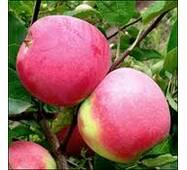 Яблоки Слава Победителям на экспорт