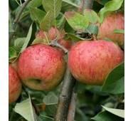 Яблоки Топаз