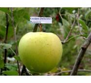 Яблоки Кристин Мутсу