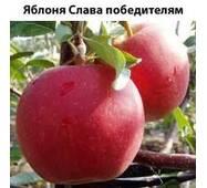 Яблоки Слава Победителям