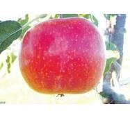 Яблоки Топаз на экспорт