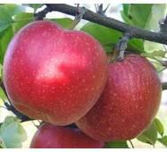 Яблоки Целесте на экспорт