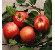 Саджанці яблуні - Зимове Плесецького