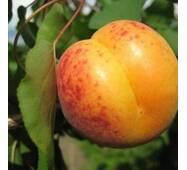 Саджанці абрикоса Мелітопольський ранній