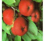 Саджанці яблуні - Амулет