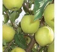 Саджанці яблуні Голден Делішес