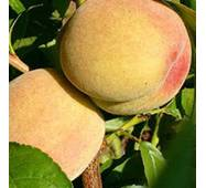 Саджанці персика - Київський ранній